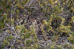 Lesser Horned Owl | magellanuv | Bubo magellanicus