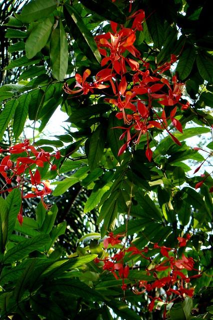 Amherstia Nobilis - Mumbai Jan 2010