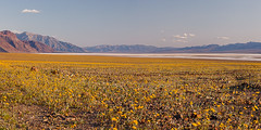 Badwater Sunflowers, April 2010