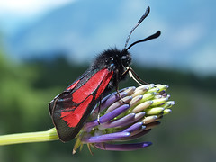 Transparent Burnet Moth (Zygaena purpuralis), by Peter Roos @ Trek Nature