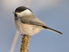 Willow Tit by Sergey Yeliseev, on Flickr