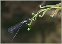 Damselfly, by Oleg Kosterin