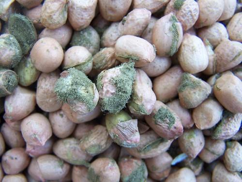 Aflatoxin-contaminated groundnut kernels