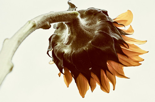 Day 191 - Old Sunflower
