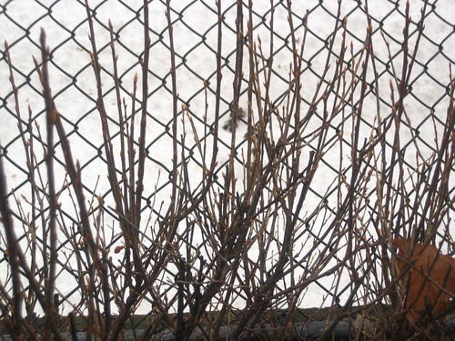 Bare Branches and Fence
