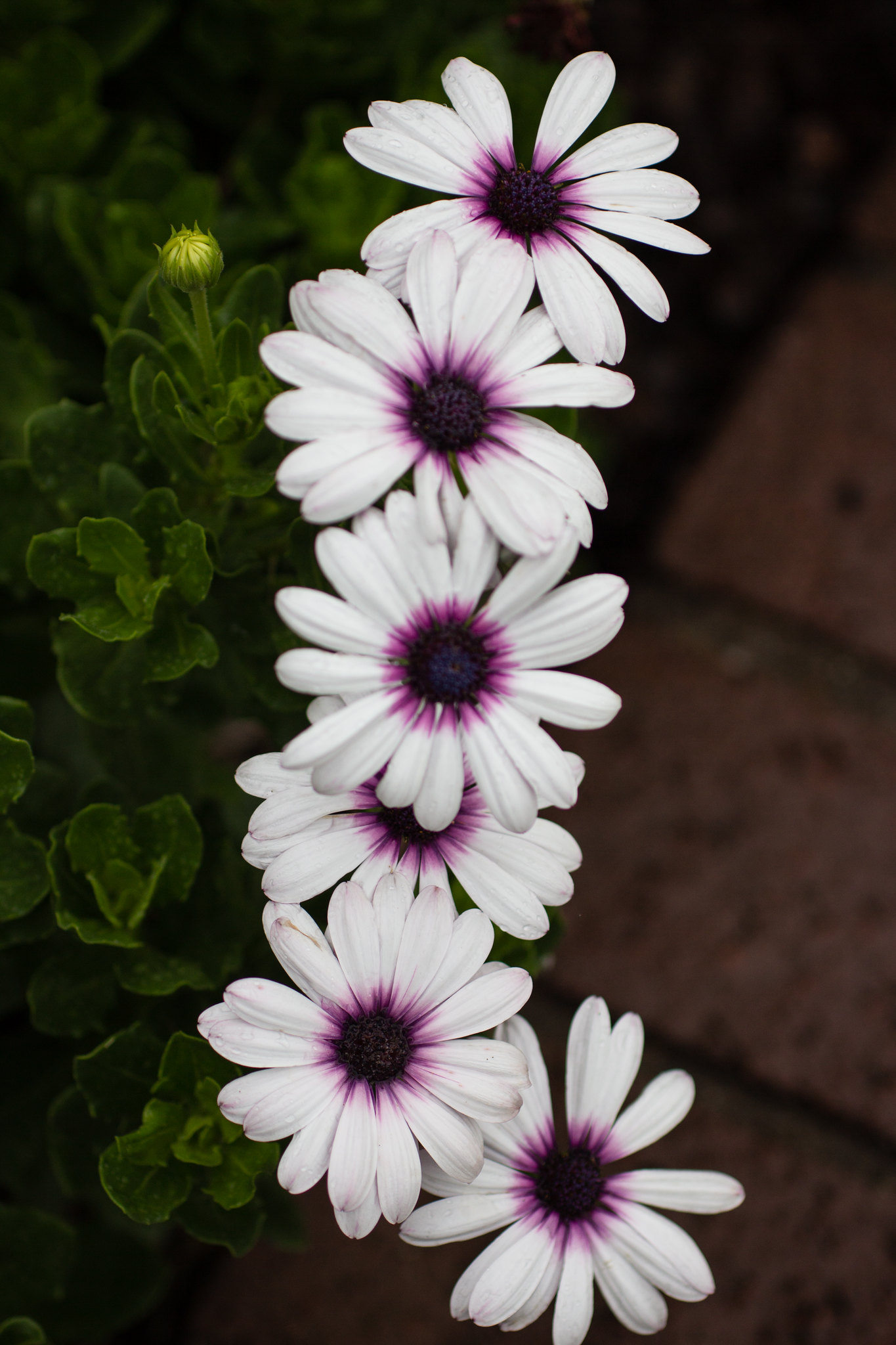 (nearly) straight line of daisies