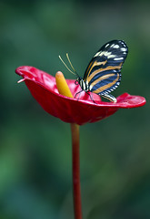 Butterfly, unknown