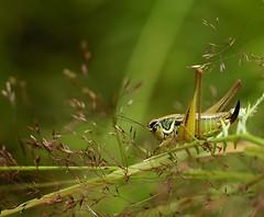 Grasshopper, by Zmorka Jestem