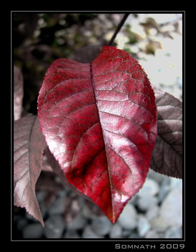 Red Leaf by Somnath Mukherjee Photoghaphy