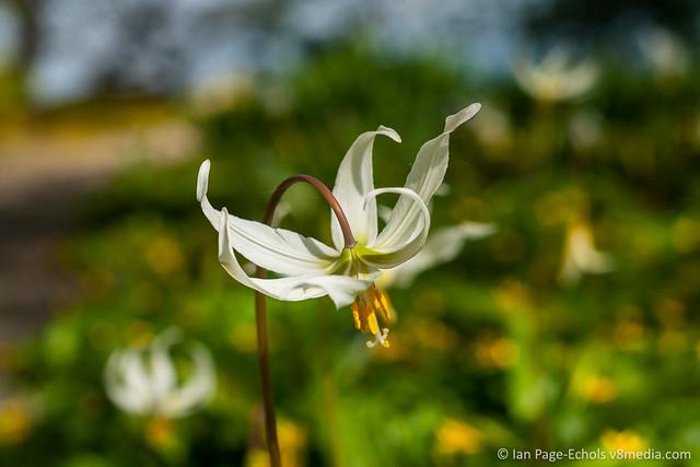 White Flower Extended