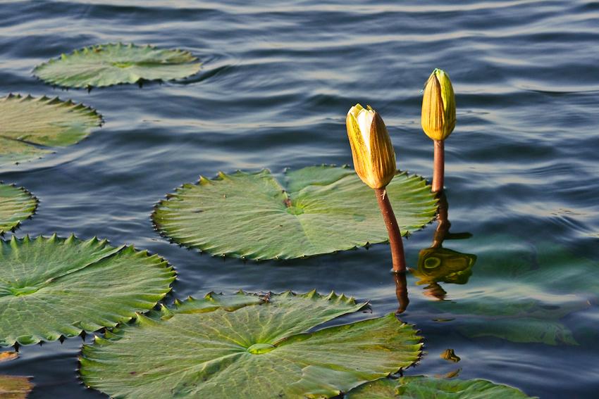 Seerosen auf dem See