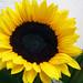 Sunflower-Happy Flower