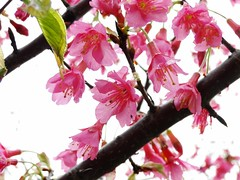金山街櫻花