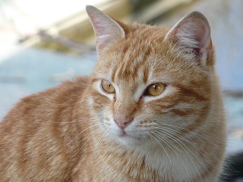 Orange cat 01