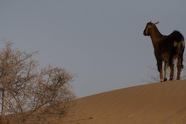 Goat in the desert