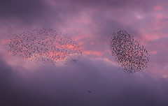 starlings  being hunted!