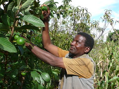 Le paysan malawi Nelson Mkwaila n'a plus de problèmes pour nourrir sa famille depuis qu'il a introudit des arbres fertilisants comme le Gliricidia dans ses champs de maïs et d'arbres fruitiers.