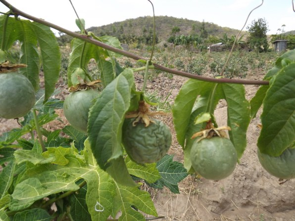 Common problems with growing passion fruits