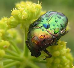 Beetle, unknown