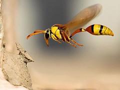 Wasp in flight, unknown