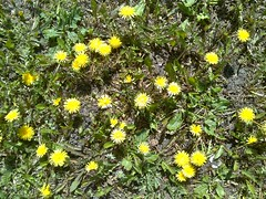 Dandelions - How To Make Dandelion Wine