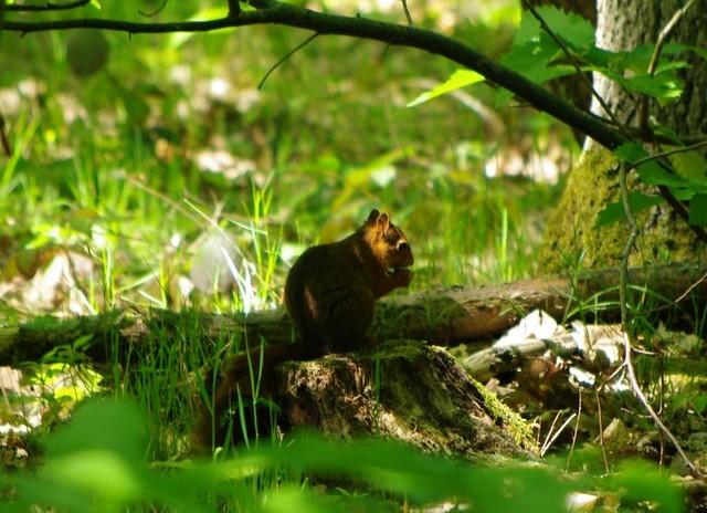 écureuil grignotant dans un sous bois.