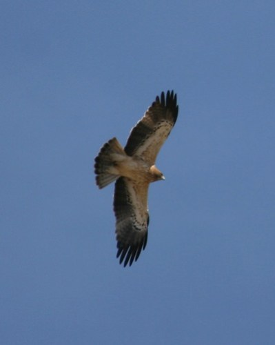 Juvenile pale morph Booted Eagle
