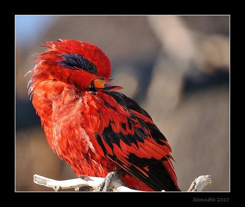 Red Lory (Eos bornea) - 1 by Somnath Mukherjee Photoghaphy