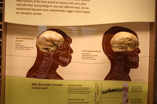 Homo heidelbergensis and Homo sapiens cranial endocasts