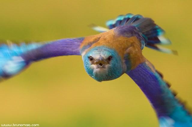 Rolieiro   European Roller (Coracias garrulus)