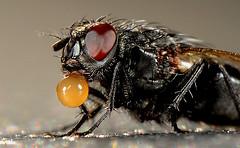Fly digesting, by Thomas Hornum Jensen
