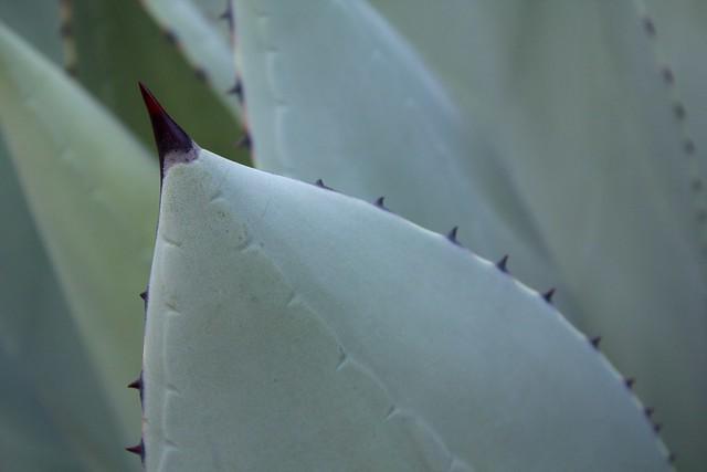 "Agave parryi v. truncata ""Mescal Agave"" (Mexico)"