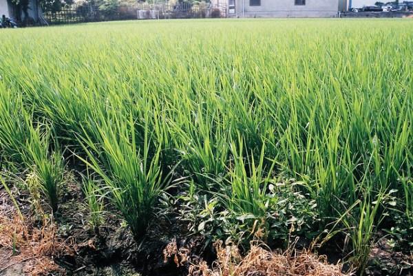 當知盤中飧, Rice Harvest | Flickr - Photo Sharing!