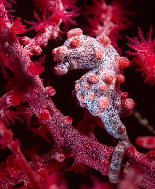 Pygmee sea horse