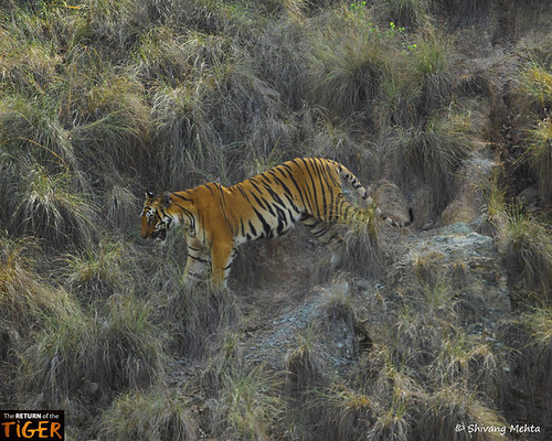 Tiger descending from a mountain