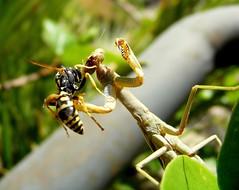 Wasp versus mantis, unknown