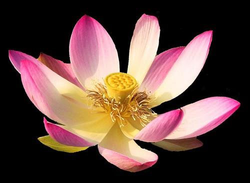 Serie - FLOWERS on BLACK : Lotos/Lotus 25 , 9999  v