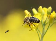 Bees, by Alek5