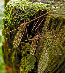 Mosquitos, by Anton Belokurov