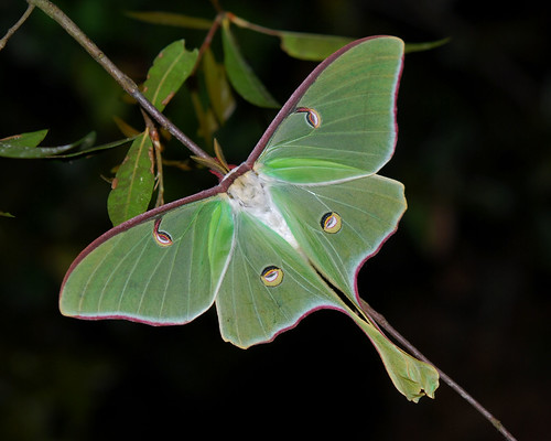 Luna moth by ggallice