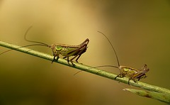 Grasshoppers, by Inka