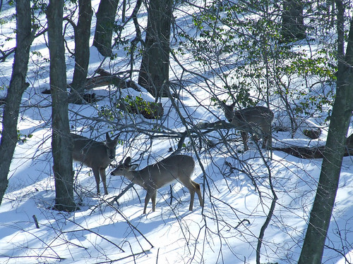 three deer in snowy woods