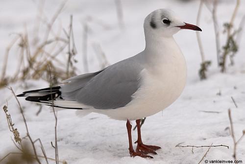 Black-headed Gull, adult