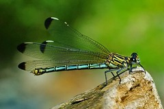 Damselfly, by euthiv