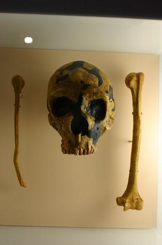 Homo neanderthalensis, cranium and upper arm bone