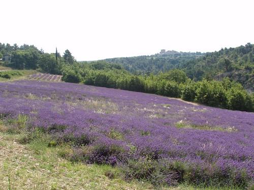 201007130240_lavender-fields