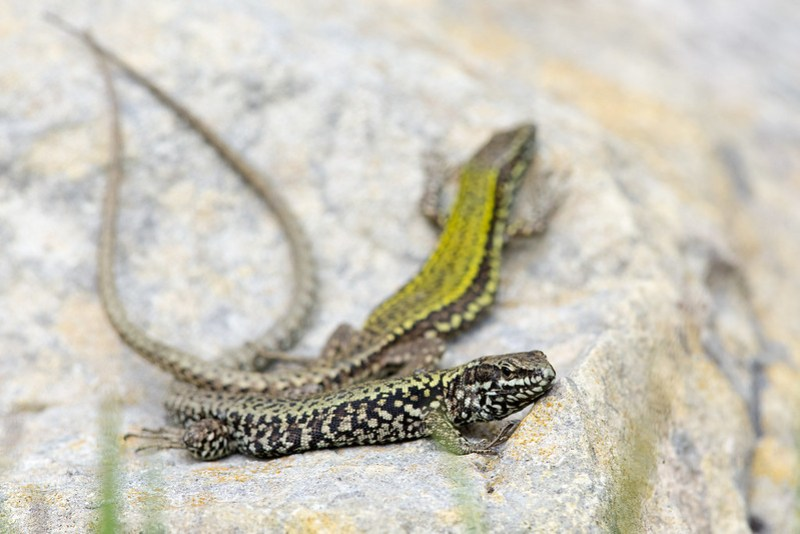 Female Wall Lizard (foreground)