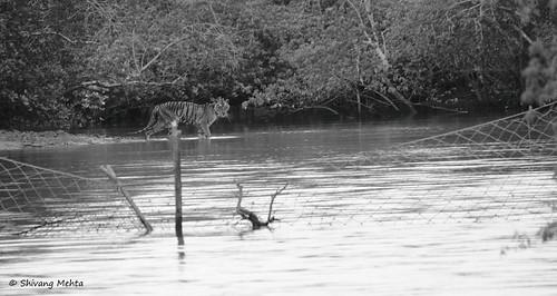 Tiger in Sunderbans