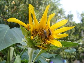 beesandsunflower