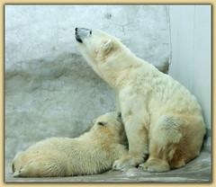 nursing polar bears